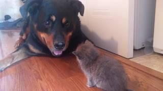 rottweiler and kitten become friends thumbnail