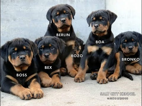 ROTTWEILERS PUPPIES 3 MONTHS OLD FOR SALE !