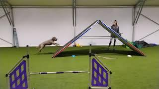 Lagotto romagnolo | agility training 6.2.2021