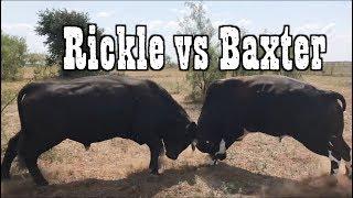 BIG BULLS FIGHTIN - Rodeo Time 73