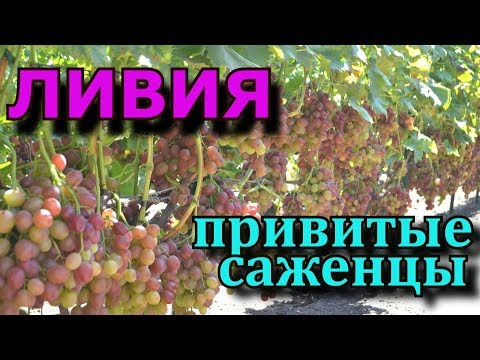 Виноград Ливия Обзор#1  (Grapes of Liviya)