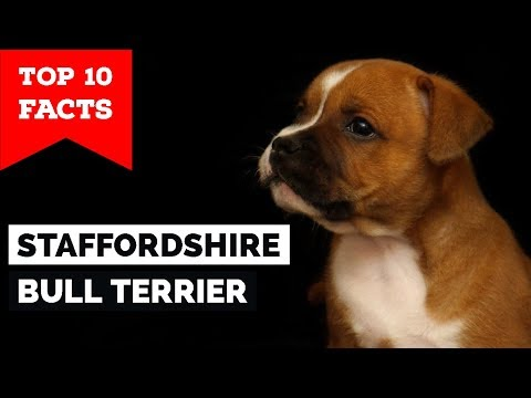 Staffordshire Bull Terrier  Top 10 Facts (Staffy Terrier)