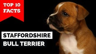 Staffordshire Bull Terrier – Top 10 Facts (Staffy Terrier)