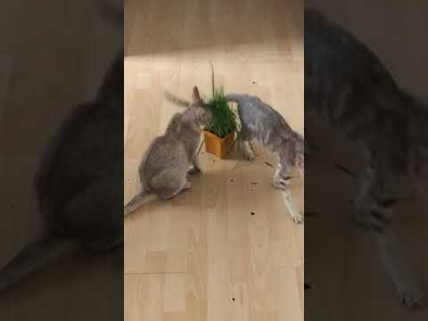 Oriental cats playing with cat grass