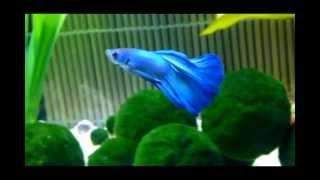 My Halfmoon Betta Fish ~ Hikki Chan
