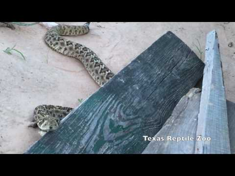 Rattlesnake comes when Called (please read the description!)