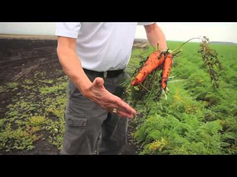 NutriAg agronomist on growing resilient carrots through a cold damp summer