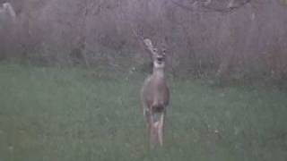 quick shot of deer running back into the woods