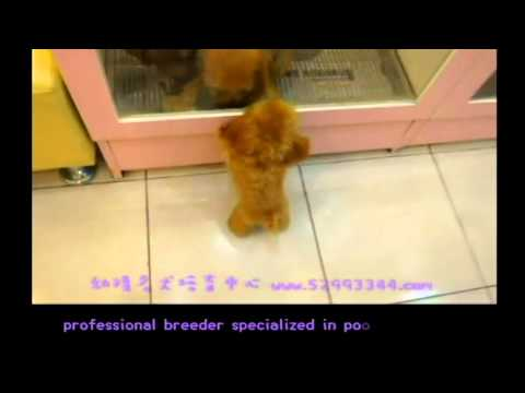 Tiny Micro Apple Red Teacup Poodle Available! So TINY and cute! from YouTube · Duration:  34 seconds