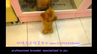 Red Pocket Teacup Poodle  Toy Poodle