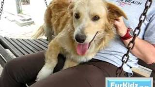 Harry, 1 Year Old Basset X Golden Retriever Adopted
