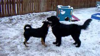 Afghan Hound And Rottie Mix Playing At All About Paws