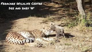 Cheetah Dee and baby 'N'