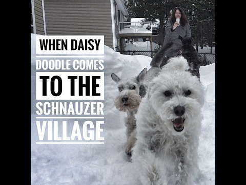 Daisy comes to town | Schnauzer Village
