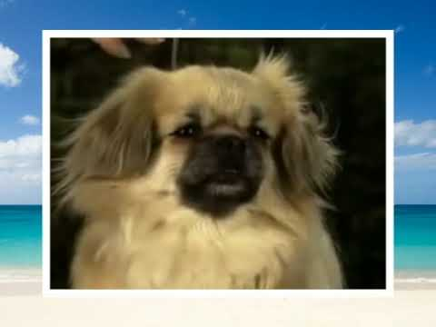 Tibetan Spaniel The Breed