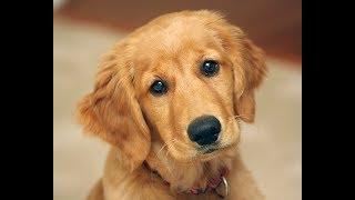 Почему золотистые ретриверы - самые милые собаки