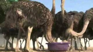 Pakistan Ostrich Company PakOstrich 2/7