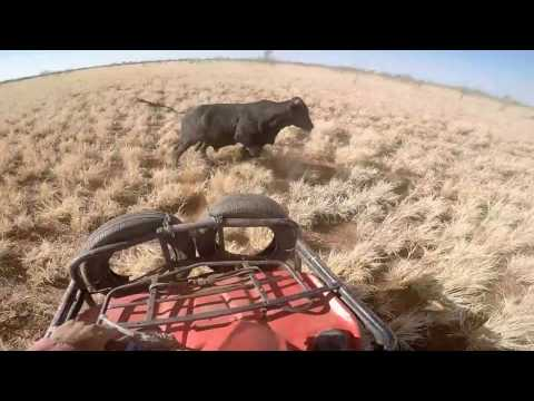 Mustering Cleanskins - Kimberly's Western Australia