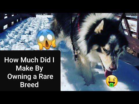 My Husky Got a Job! - Siberian Husky 101