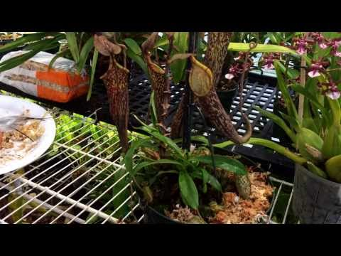 Repotting My Nepenthes Carnivorous Pitcher plant. Nepenthes care and culture tips in the greenhouse.