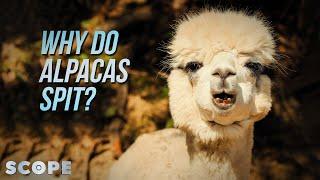 Why Do Alpacas Spit?   SCOPE TV