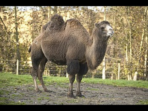 Flamingo Land Zoo Camels