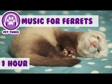 1 Hour Of Relaxing Music For Ferrets! Music To Calm Down Your Pet Ferret