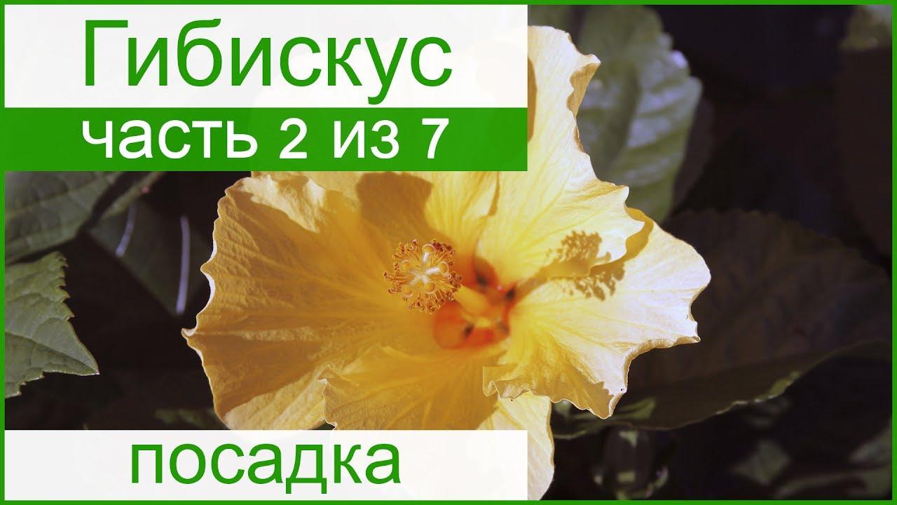 Гиби́скус сири́йский (лат. Hibíscus syríacus) — растение семейства мальвовые, вид рода гибискус, произрастающее в китае, корее и странах западной азии. Культивируется в открытом грунте на юге россии, в крыму, на юге украины, в молдавии и средней азии.