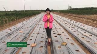 Chia sẻ làm đất trồng quất giống như thế nào tại vựa quất Văn Giang - Hưng Yên