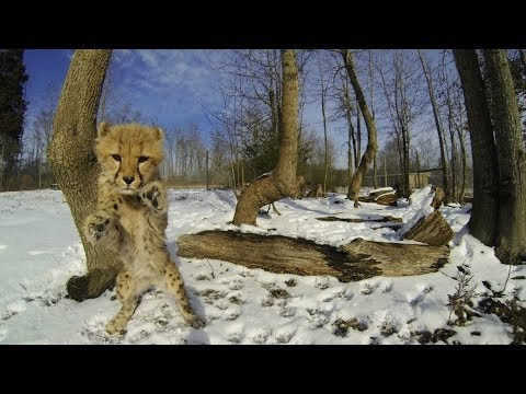 Cheetah Cubs Playing In The Snow
