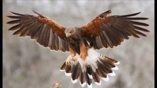 THE HAWK SPIRIT  -  SHAMANIC REIKI MUSIC