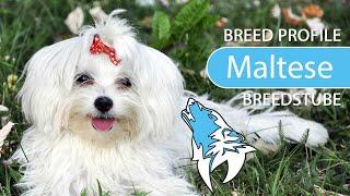 Maltese Dog Breed, Temperament & Training