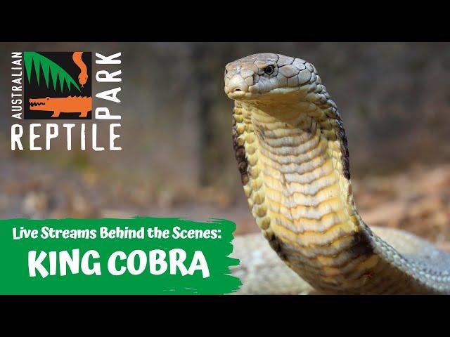 HUGE KING COBRA (LIVE FOOTAGE) | AUSTRALIAN REPTILE PARK