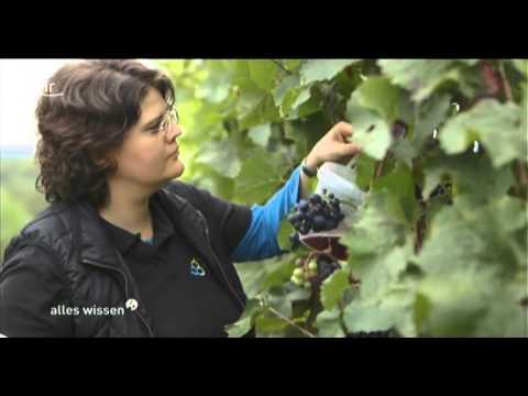 Alles Wissen: Klimawandel und Weinbau