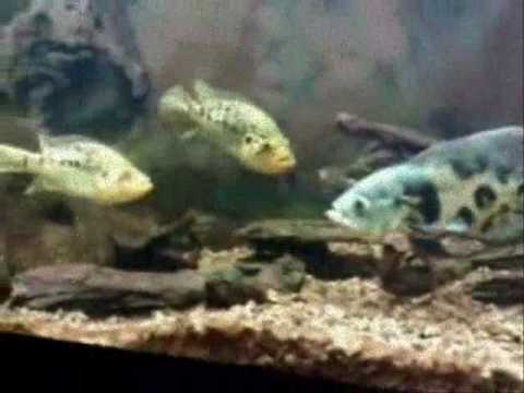 Oscar Vs The Cichlid world (Oscar vs Red Devil, Texas Cichlid, two Jaguar Cichlids & a Green Terror)