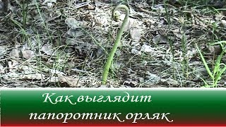 Как выглядит папоротник Орляк - лат. Pterídium aquilínum