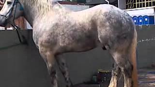 Cavalo Percheron - Incrível este cavalo.
