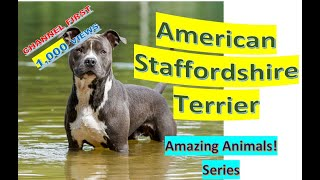 American Staffordshire Terrier | Amazing Animals | Pet Dogs