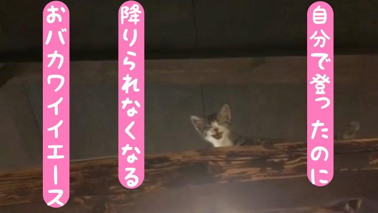 子猫紹介! 自分から登ったのに降りられなくなるおバカワイイ エース 鎌倉ねこの間
