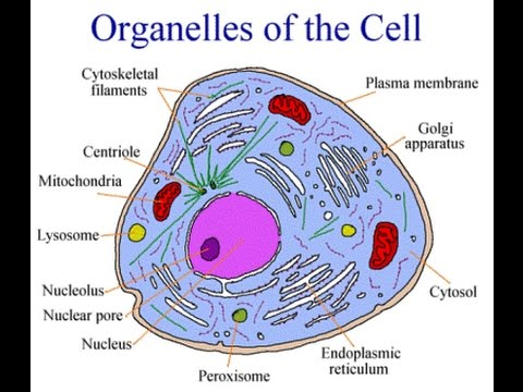 Cell and its organelles in urduhindi youtube cell and its organelles in urduhindi ccuart Choice Image