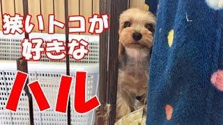 【ヨークシャーテリア専門犬舎チャオカーネ】 狭いトコが大好きなハルさ...