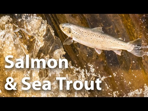 Salmon And Sea Trout - River Esk - A Yorkshire Migration