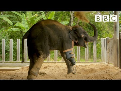 Happy elephant receives a new prosthetic leg 🐘   Great Asian Railway Journeys - BBC