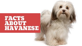 Havanese  10 Important Facts You Should Know About Havanese  Havanese Dog Breed