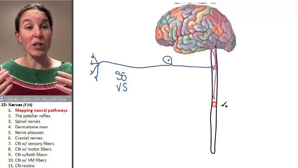 Nerves 1 Mapping Neural Pathways Youtube