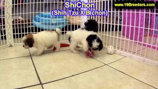 ShiChon, Puppies, For, Sale, In, Columbus, Ohio, OH, North Ridgeville, Mason, Bowling Green, Massill