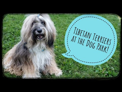 Tibetan Terriers and Pomeranian play together [cute animal vid]