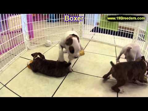 Boxer, Puppies, For, Sale, In, Billings, Montana, MT, Missoula, Great  Falls, Bozeman