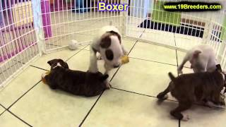 Boxer, Puppies, For, Sale, In, Billings, Montana, Mt, Missoula, Great  Falls, Bozeman
