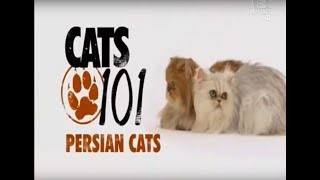 Персидская кошка 101kote.ru Persian 101cats